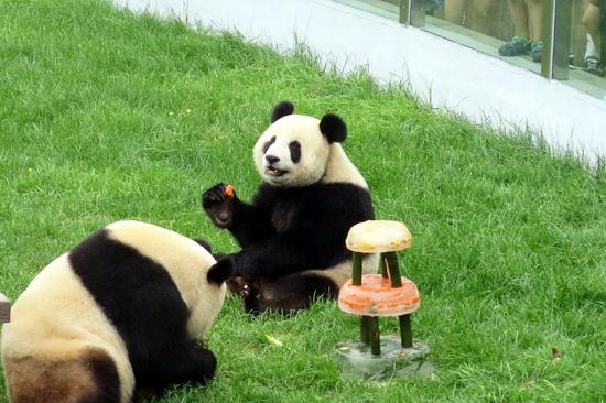 森林动物园熊猫生日